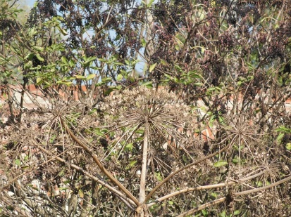 Barszcz po wysianiu nasion ginie